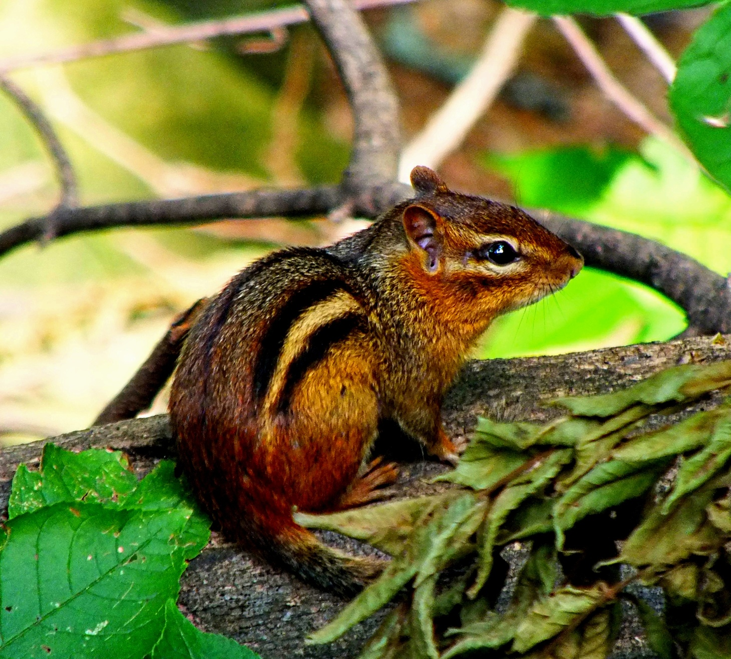 Thank goodness... this cute little fell'r isn't named Alvin!  Photo by Thomas Peace 2014