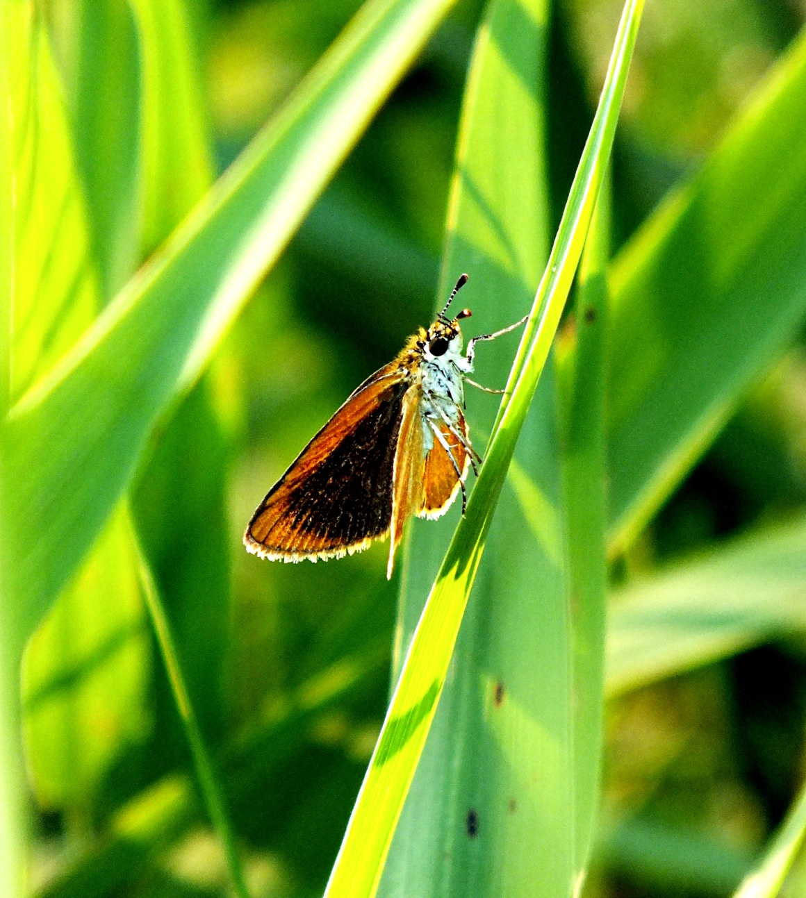 Tawny-edged Skipper contemplating his next move.  Photo by Thomas Peace 2014