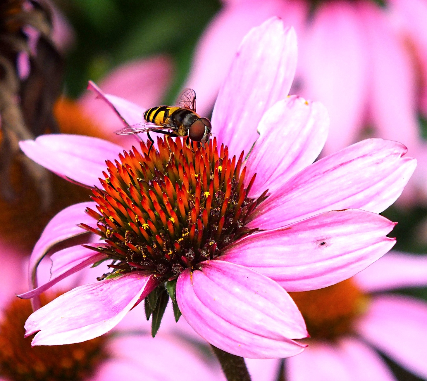 A non-bee!  Photo by Thomas Peace 2014