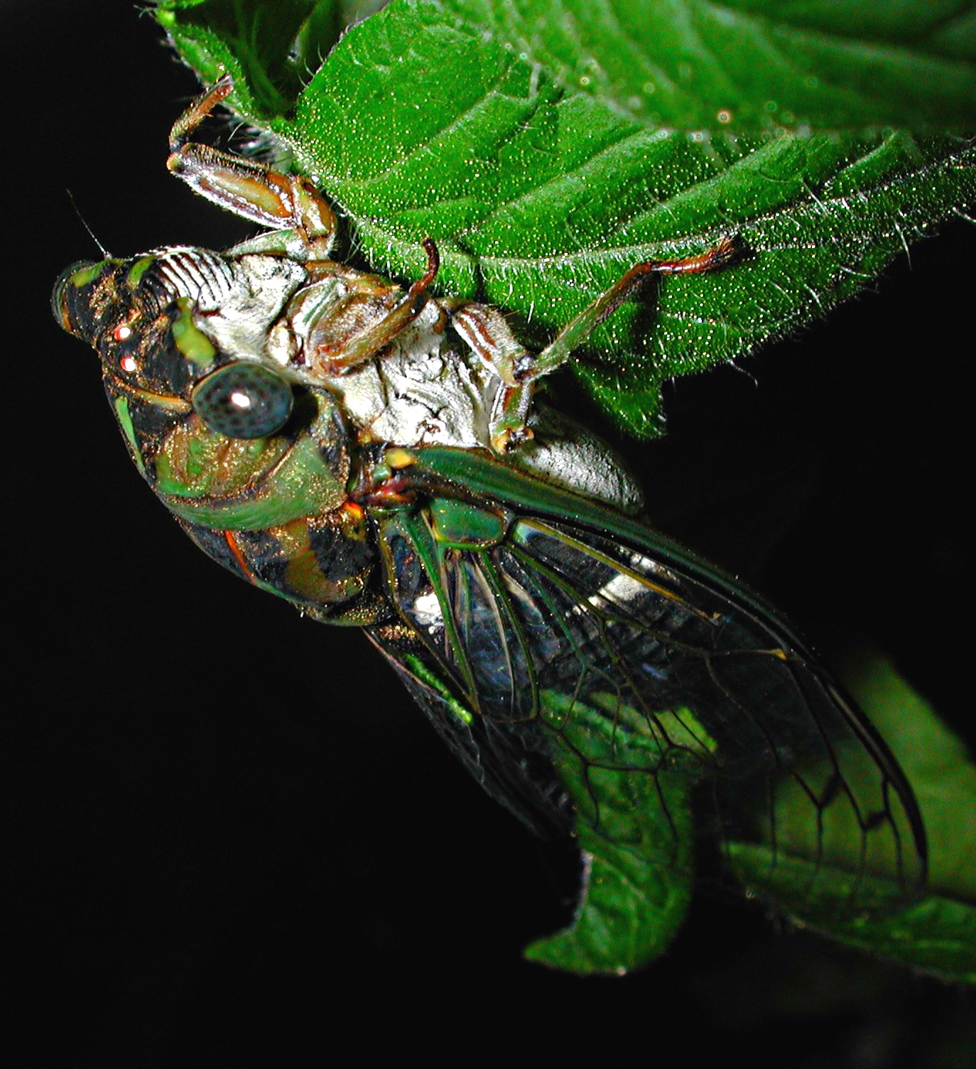 Singer of songs... an annual Cicada.  Photo by Thomas Peace 2014
