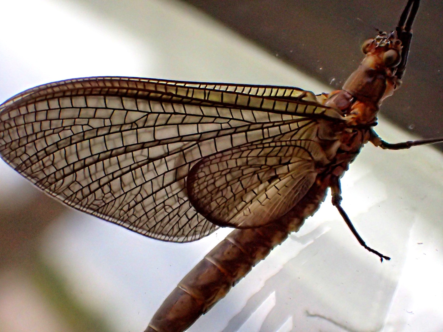 An adult Mayfly: Short-lived but beautiful! Photo by Thomas Peace 2014