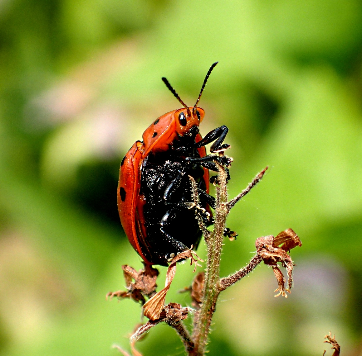 Ladybug surveying the landscape from a good vantage point. Photo by Thomas Peace 2014