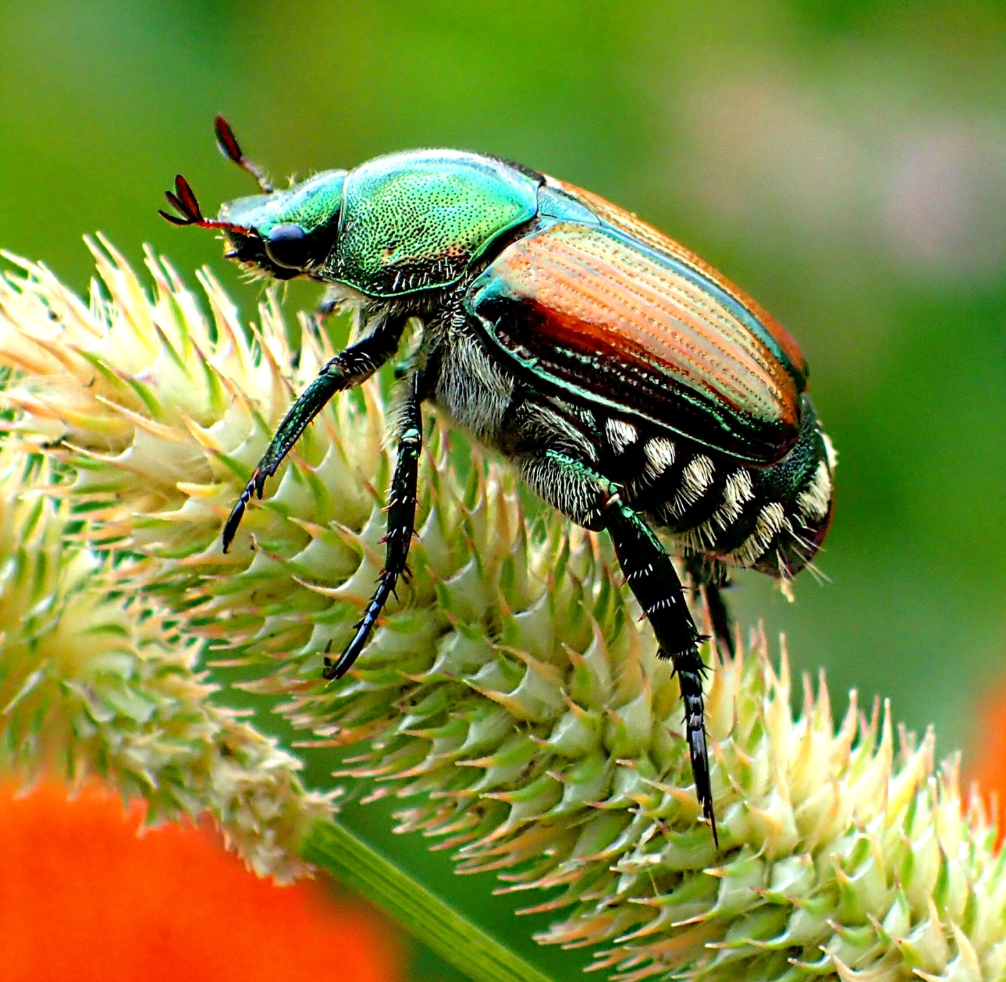 Beautiful Pest!  Photo by Thomas Peace 2014