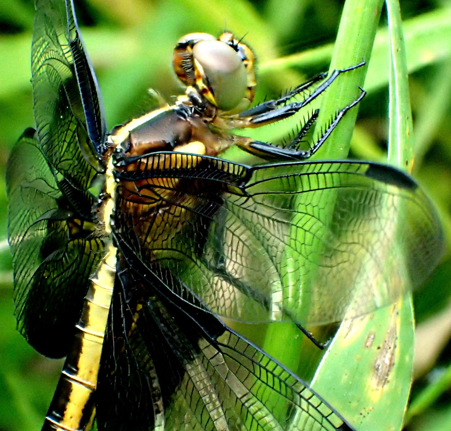 Widow Dragonfly (2). Photo by Thomas Peace 2014