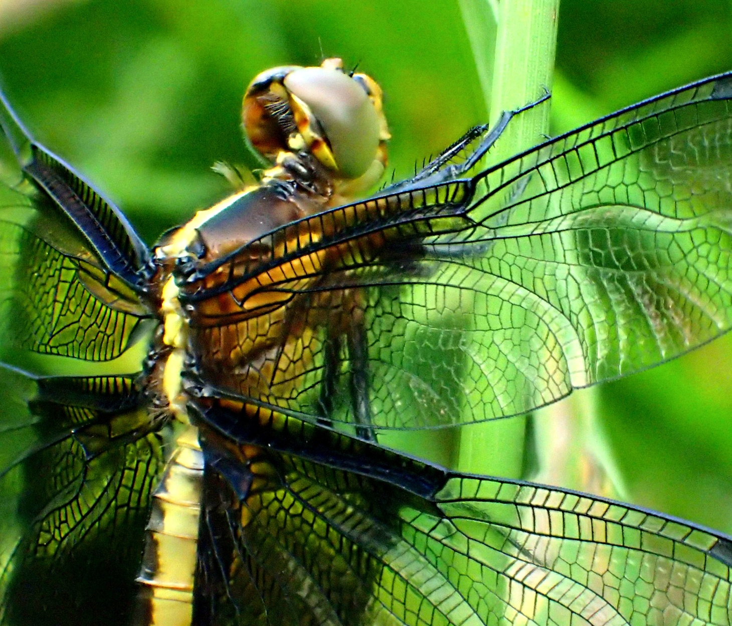 Widow Dragonfly (3). Photo by Thomas Peace 2014