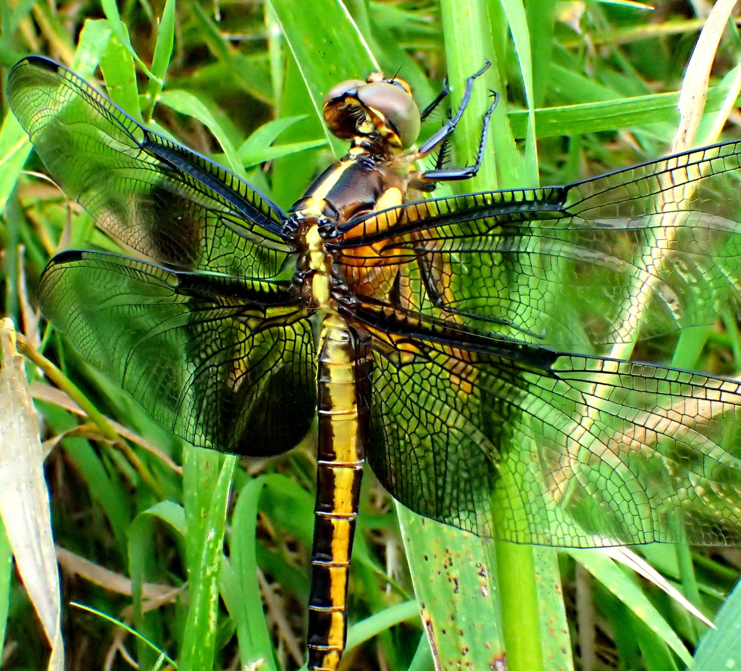 Widow Dragonfly (1). Photo by Thomas Peace 2014