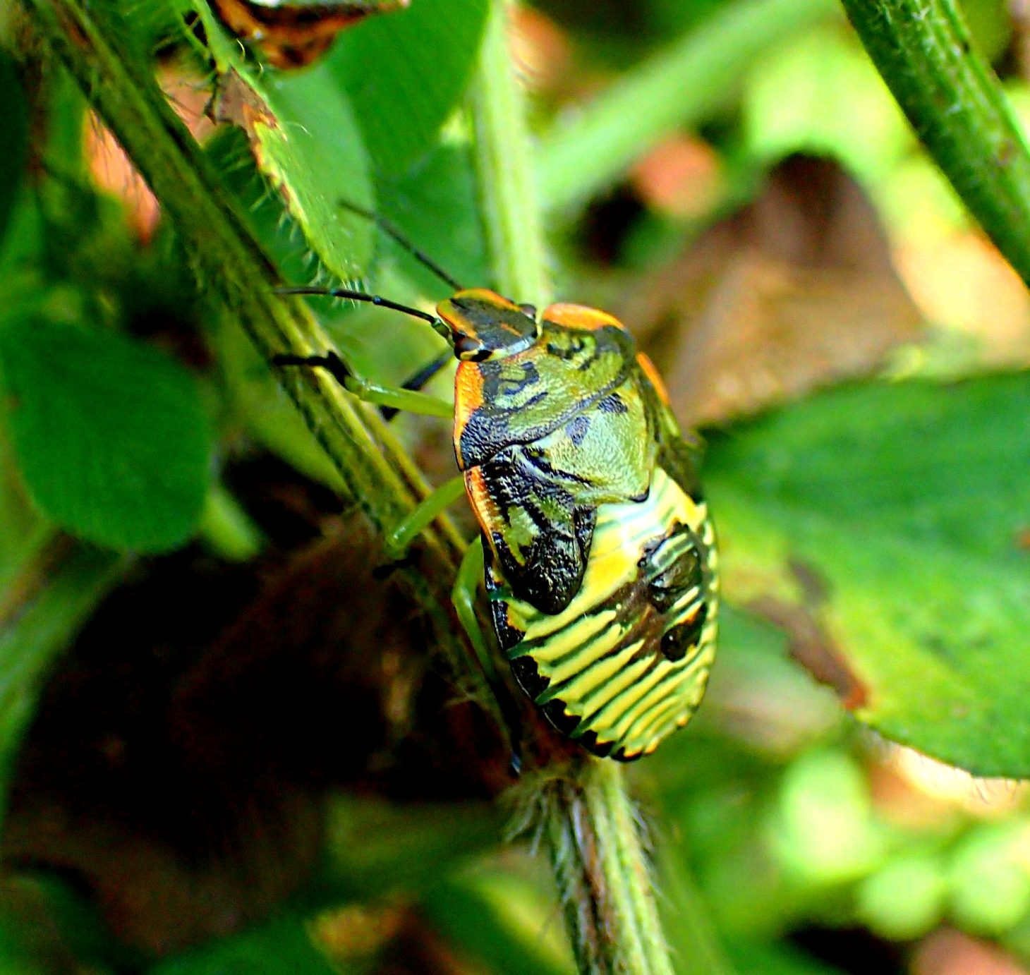 A very elusive and fast running bug!  Photo by Thomas Peace 2014