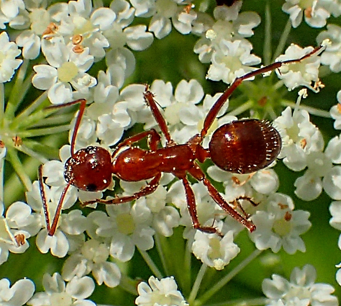 Ant on Queen Ann's Lace (2). Photo by Thomas Peace 2014