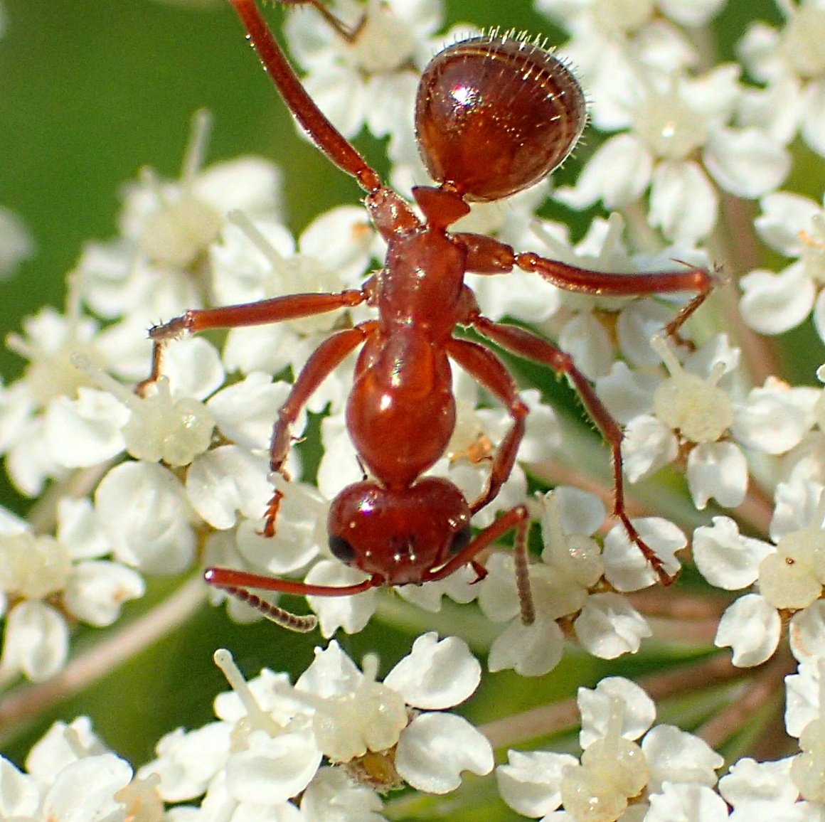Ant on Queen Ann's Lace (1). Photo by Thomas Peace 2014