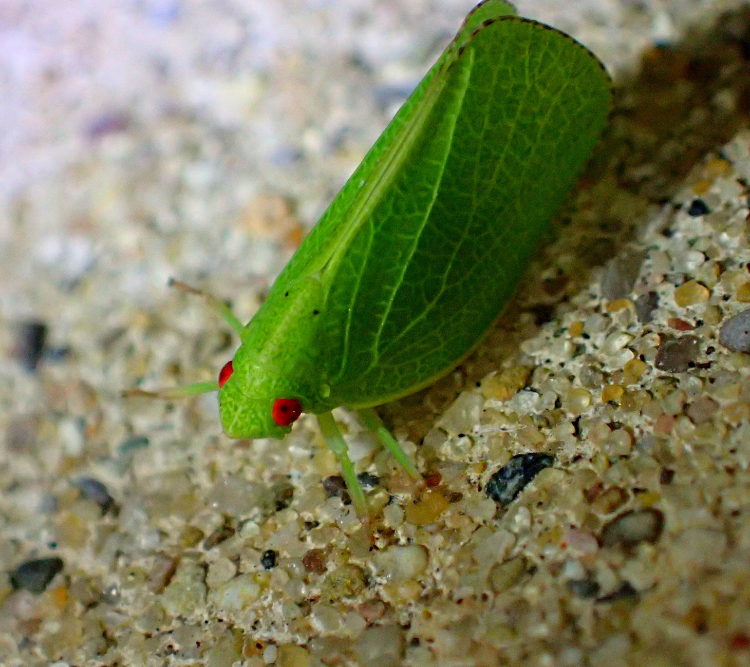 Planthopper. Enlightenment personified (1). Photo by Thomas Peace 2014