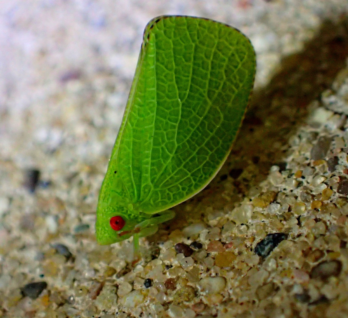 Planthopper. Enlightenment personified (2). Photo by Thomas Peace 2014