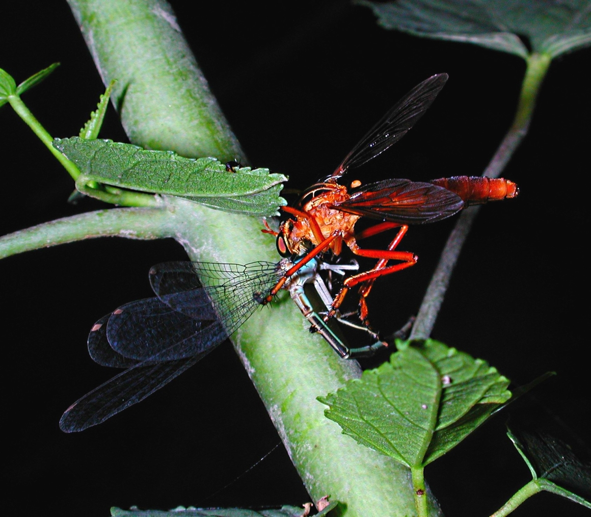 I have nothing against meat eaters! Robber Fly attacking Damselfly.  Photo by Thomas Peace 2014