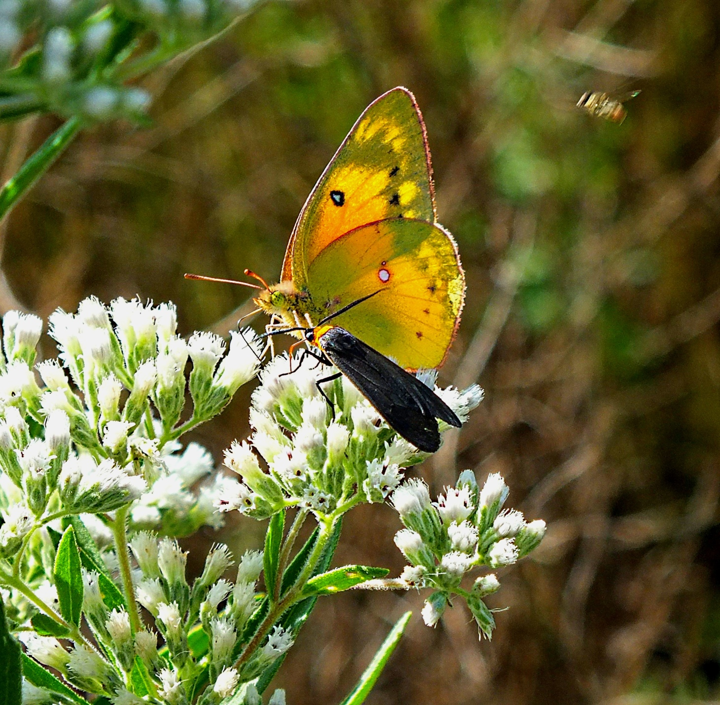 Sulphur Butterfly and Fire Beetle. The Important Conference (2). Photo by Thomas Peace 2014