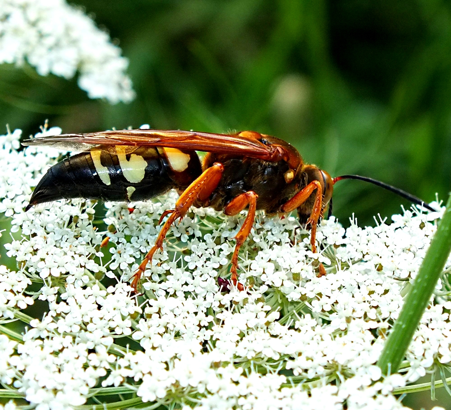 Huge Wasp indeed! (1) Photo by Thomas Peace 2014