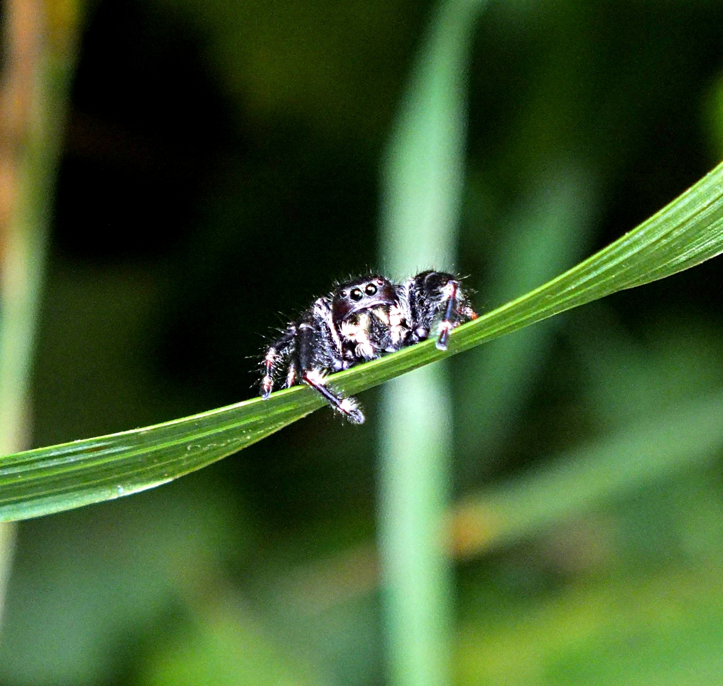Tightrope climber! (Jumping Spider) (2) Photo by Thomas Peace 2014