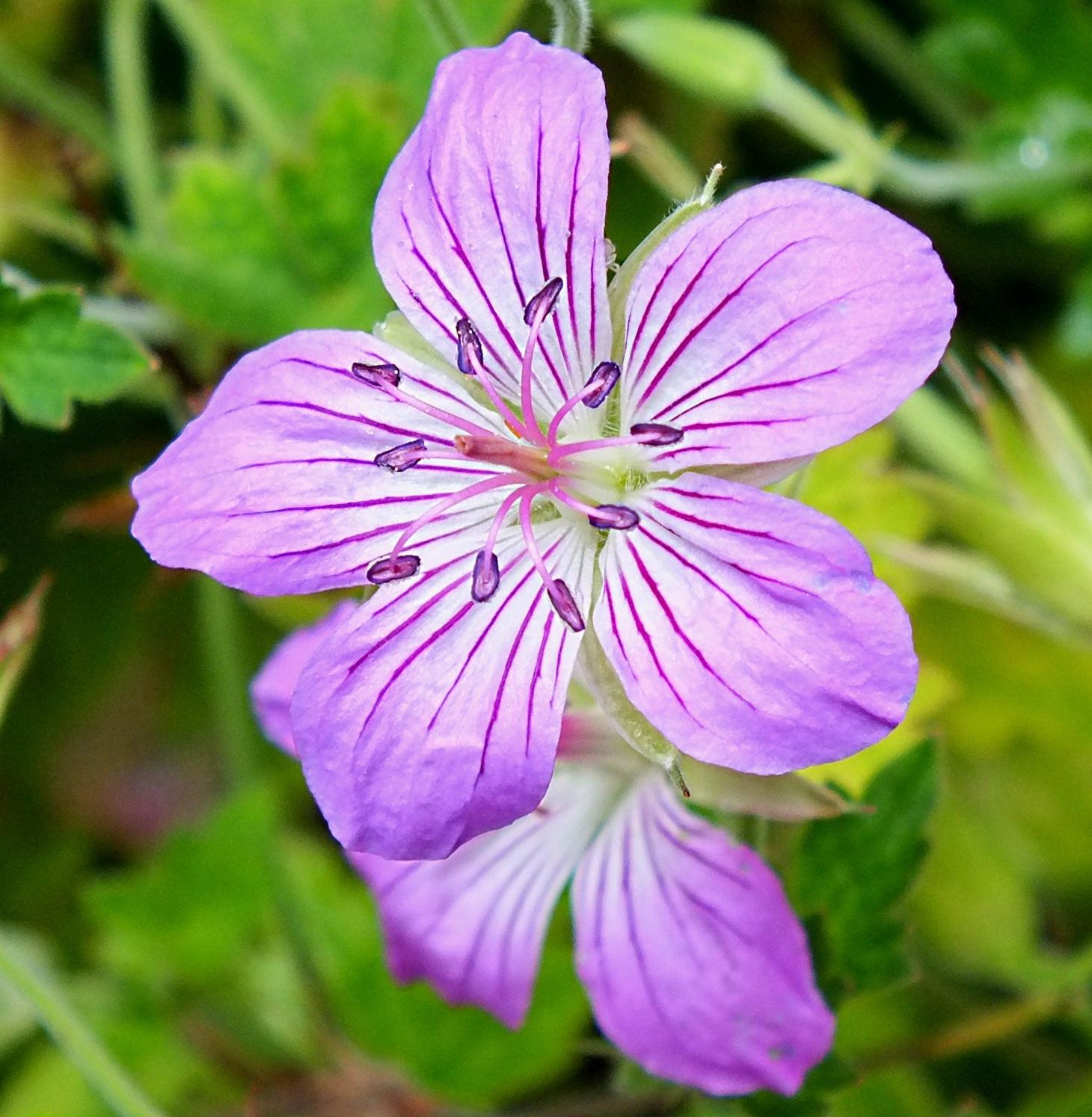Small Purple Flowers (Phacelia). Photo by Thomas Peace 2014