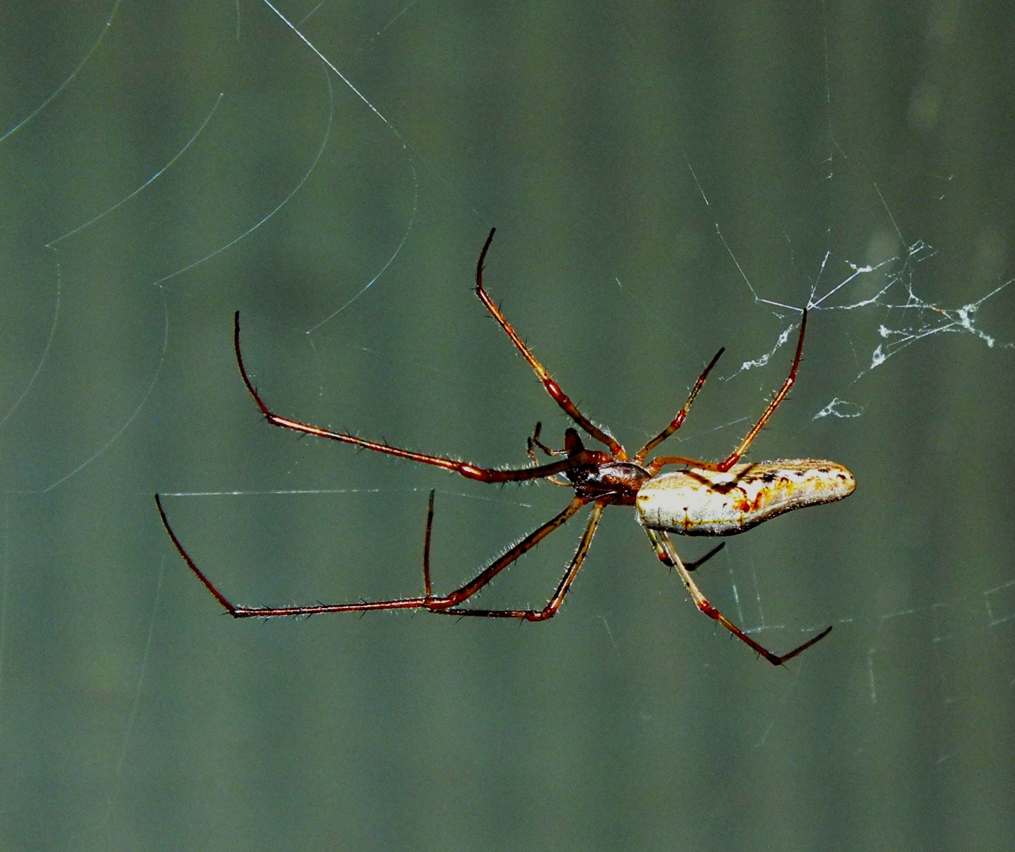 Orbweaver Spider doing its thing!  Photo by Thomas Peace 2014