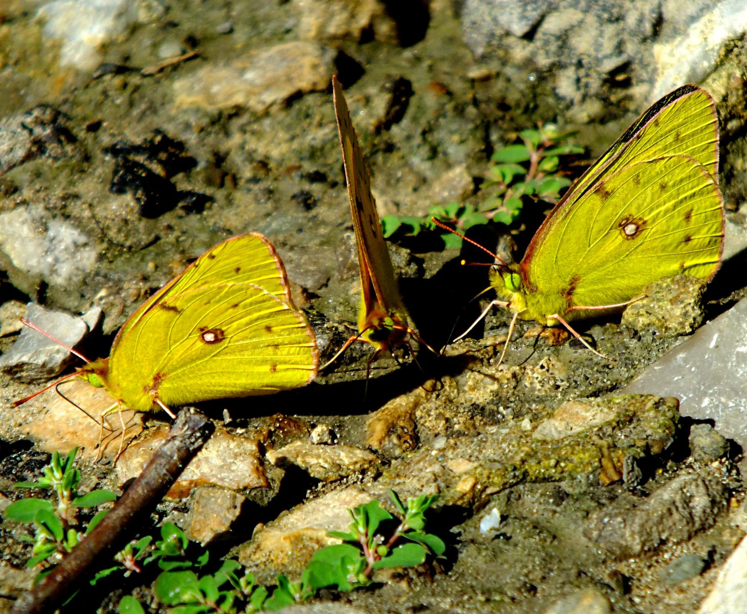 A male and two females. Photo by Thomas Peace 2014