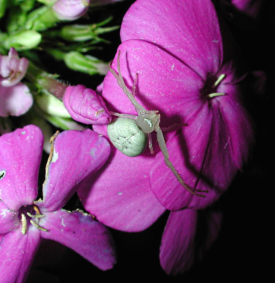 Crabby and waiting! Crab Spider in Phlox Flowers. Photo by Thomas Peace 2014
