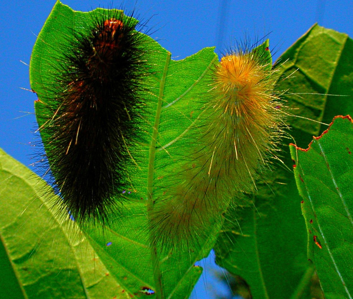 Fuzzy Caterpillars or Shih Tzu Pups?! Photo by Thomas Peace 2014