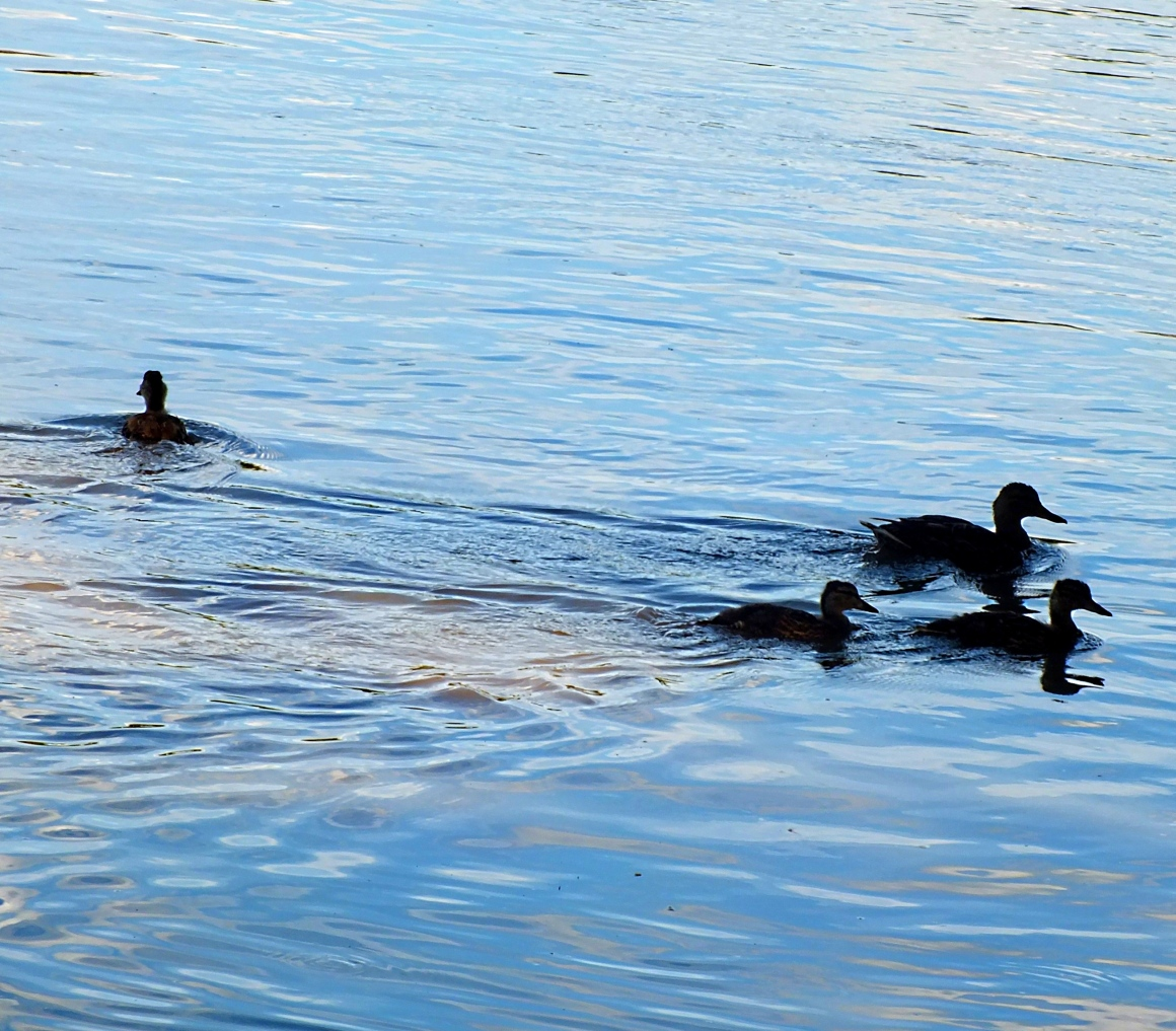 The real Duck Dynasty.  Photo by Thomas Peace 2014