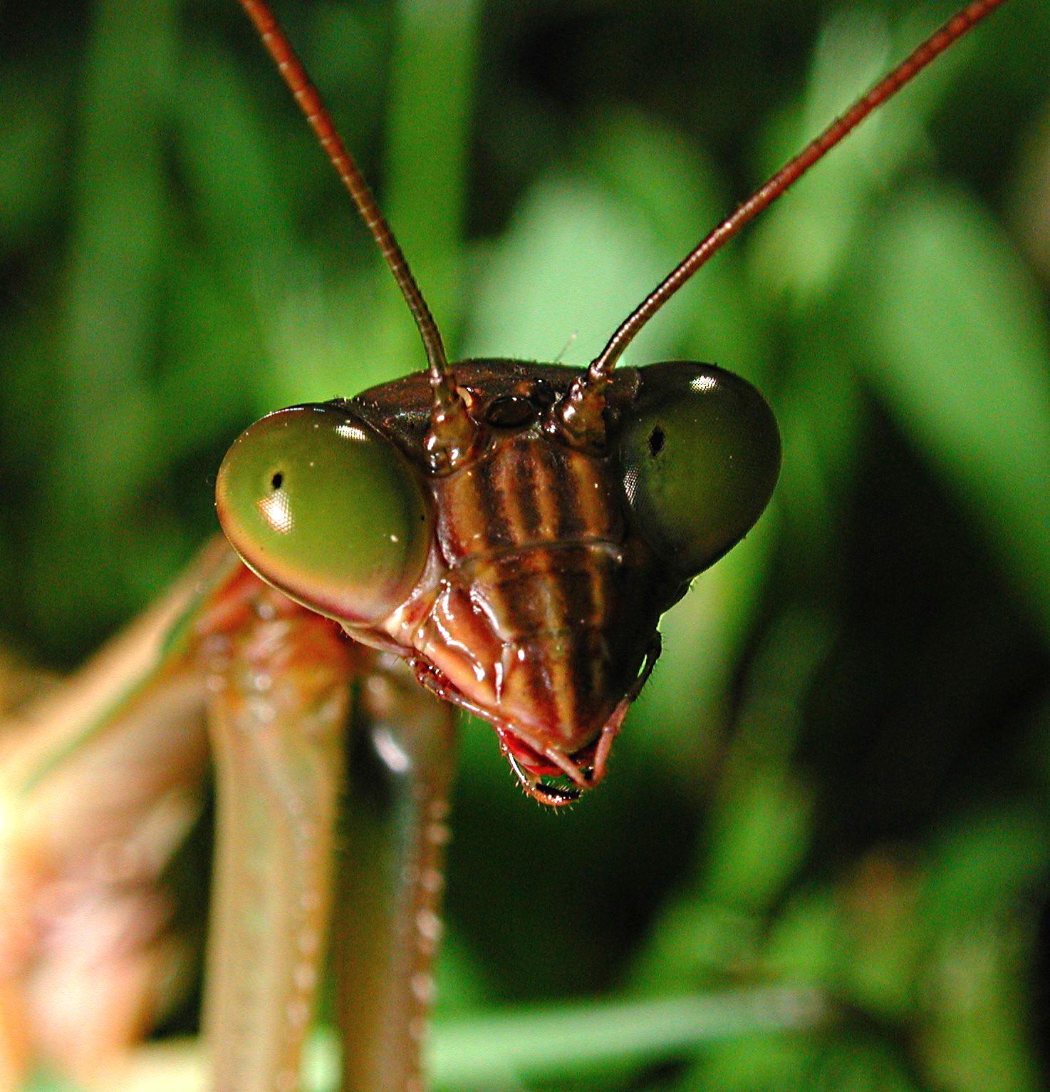 Praying Mantis Head Study. Photo by Thomas Peace 2014