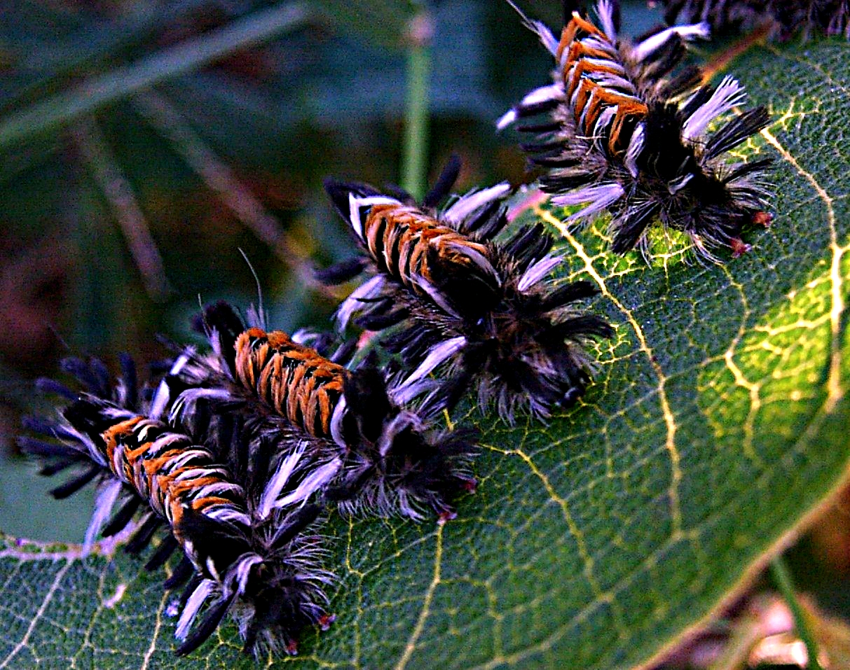 Milkweed Tussock moth (Euchaetes egle) caterpillars.  This is no puppy mill!  Photo by Thomas Peace 2014