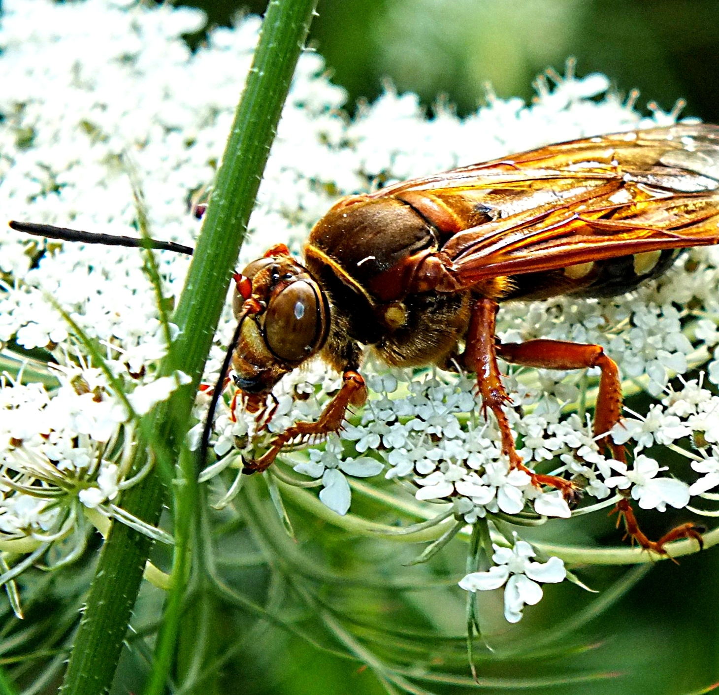 Huge wasp indeed! (2) Photo by Thomas Peace 2014