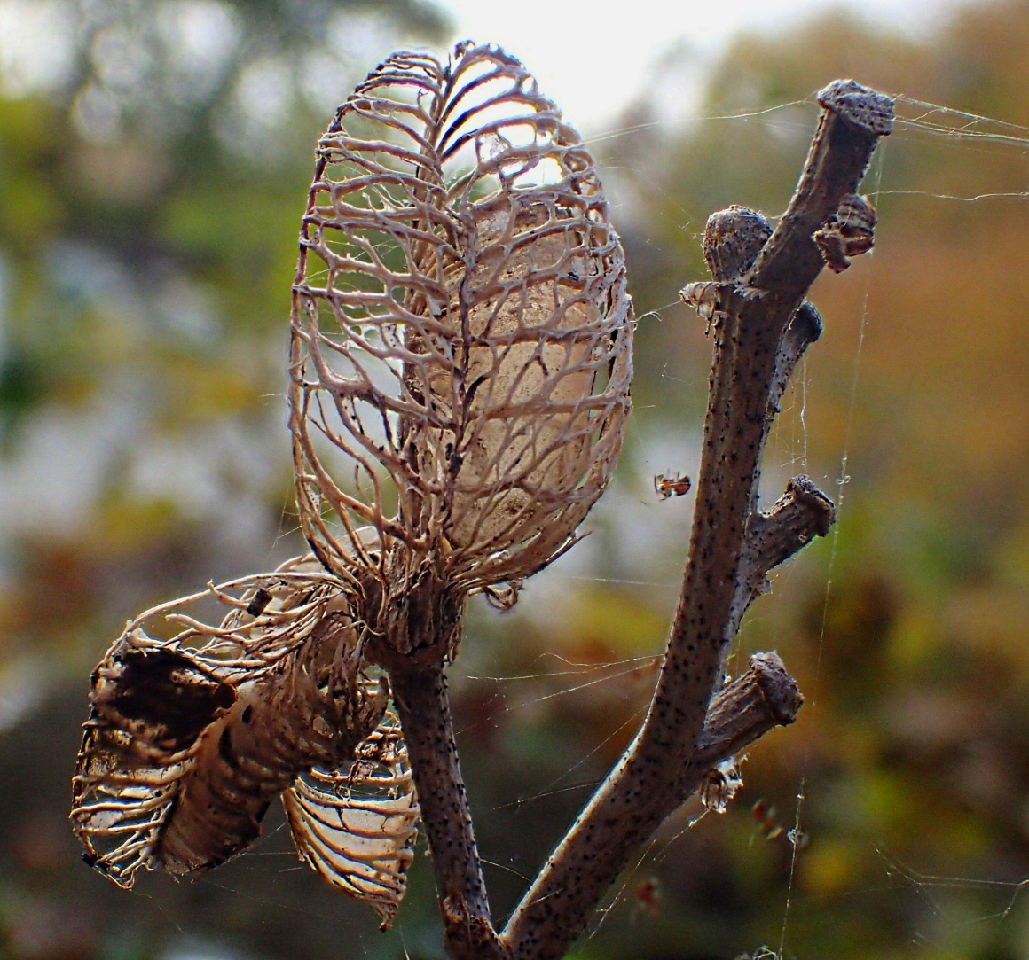 Plant Skeleton.  Photo by Thomas Peace 2014