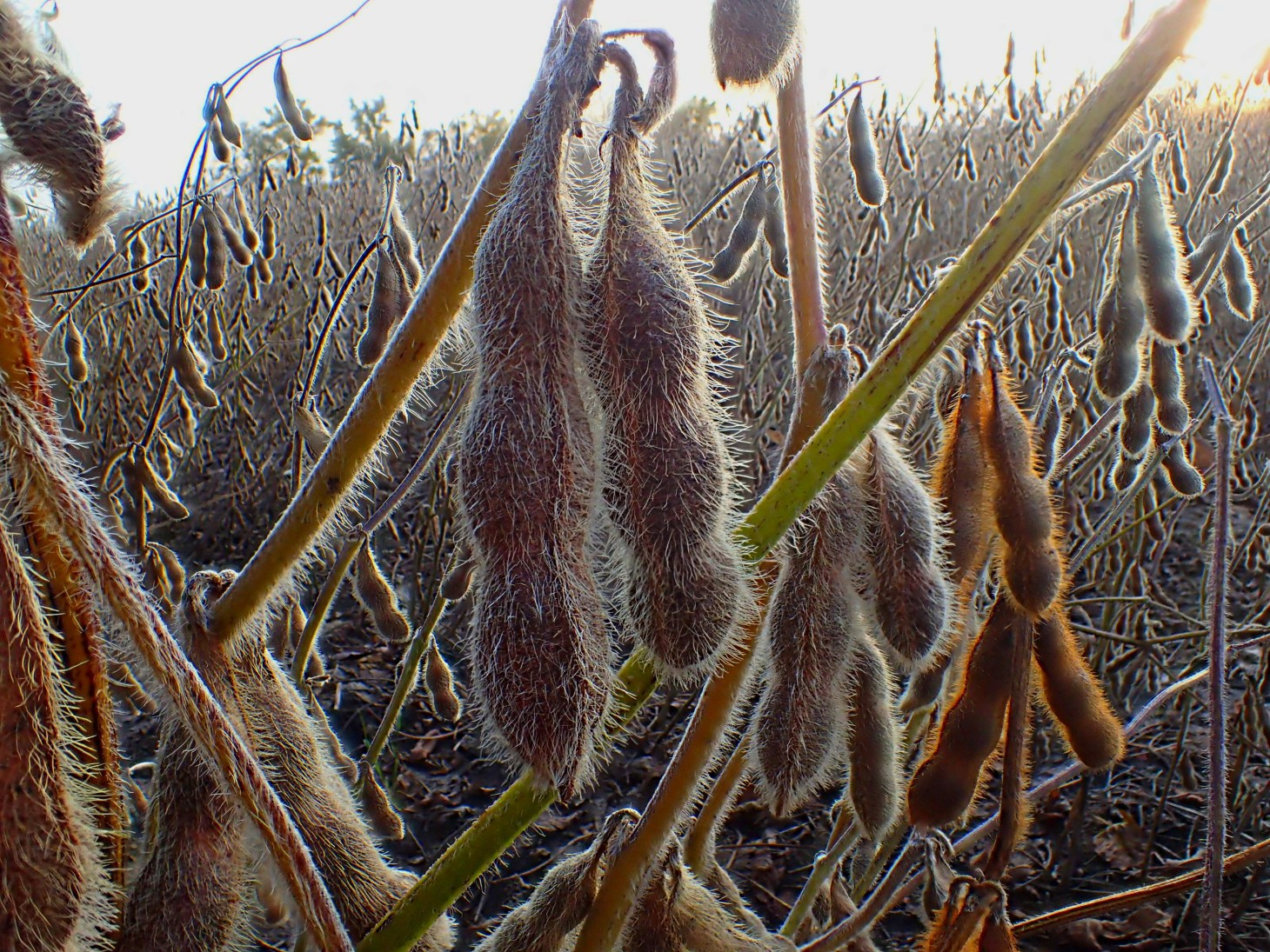 Ready for harvest!  Photo by Thomas Peace 2014