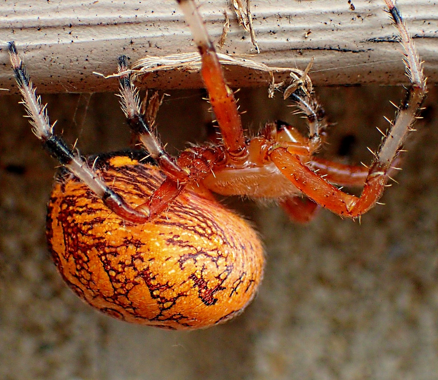 Marbled Orb Weaver Spider.  Photo by Thomas Peace 2014