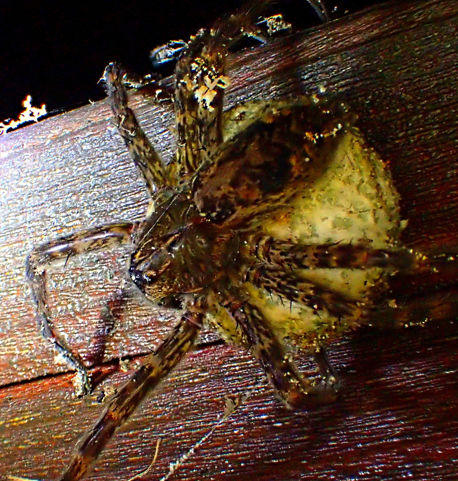 Not an itsy bitsy spider by any means!  Photo by Thomas Peace 2014