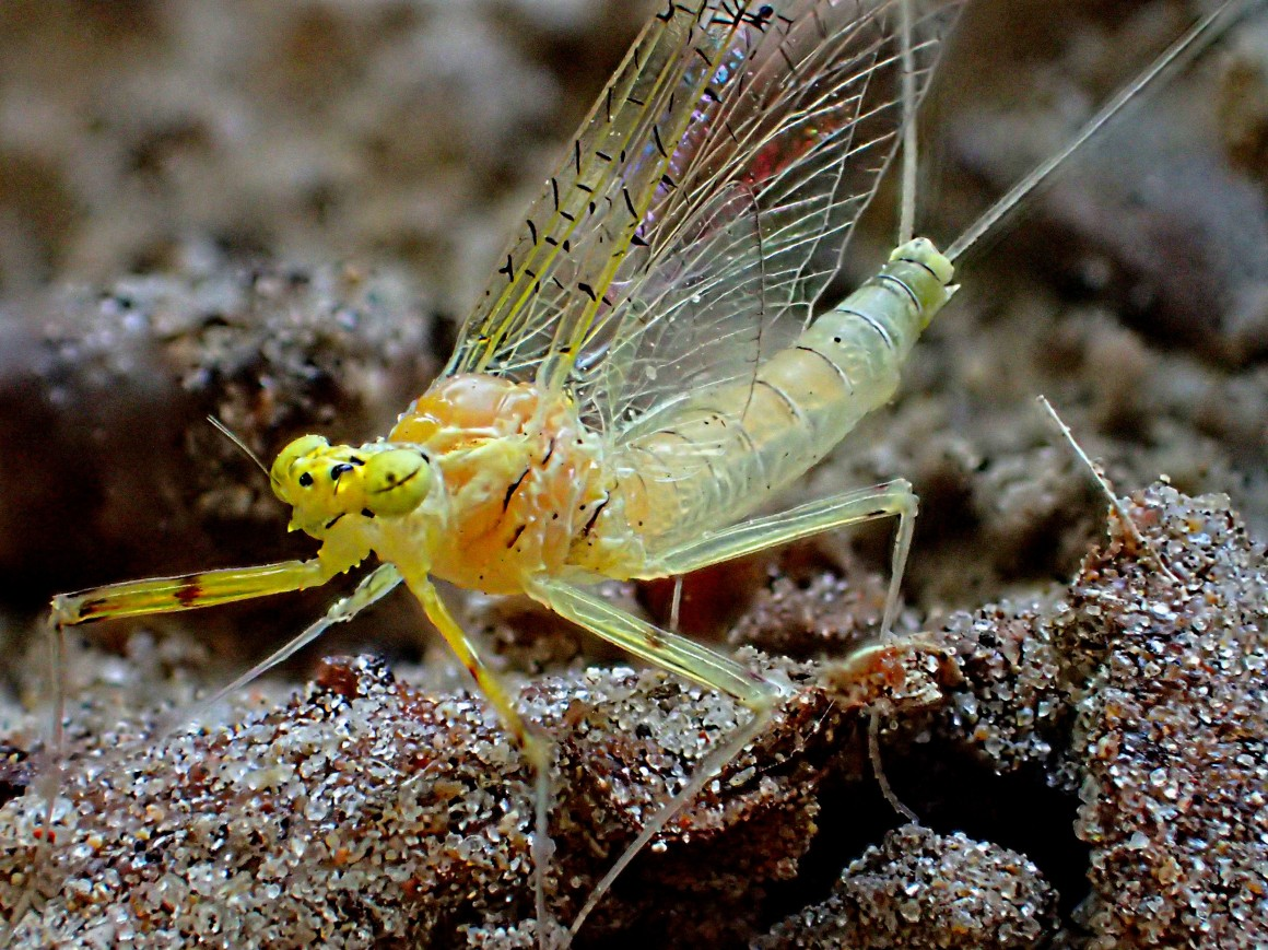 Resting Golden Mayfly. Photo by Thomas Peace 2014