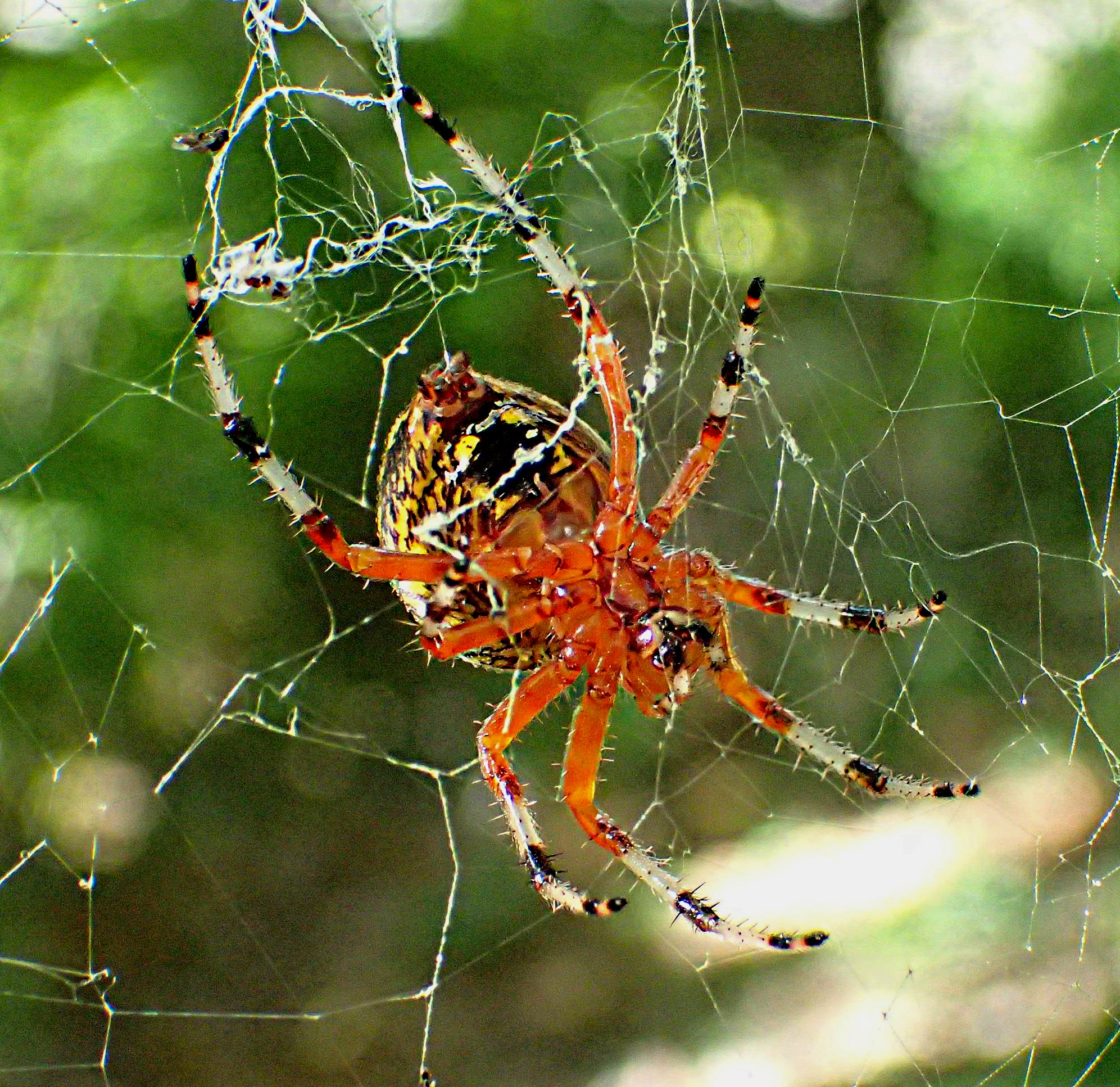 Different and colorful! Marbled Orb Weaver Spider. Photo by Thomas Peace 2014