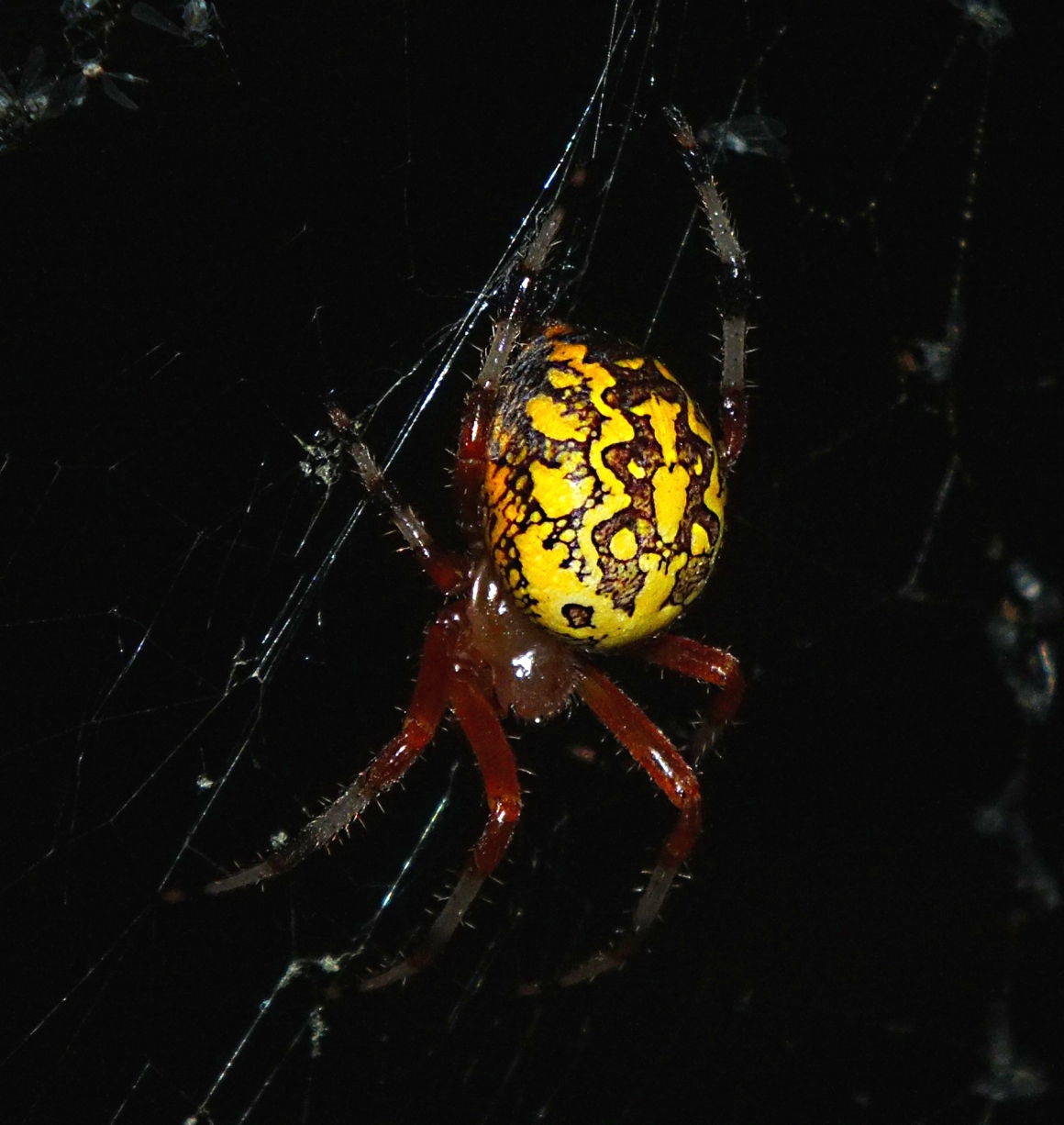 Interesting marbled design! Marbled Orb Weaver Spider.  Photo by Thomas Peace 2014