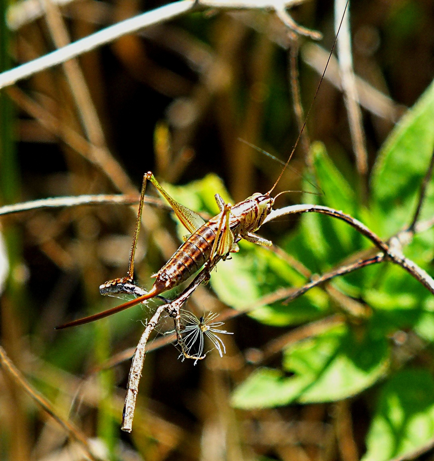 A Katydid whipping her fishing fly-rod.  Photo by Thomas Peace 2014