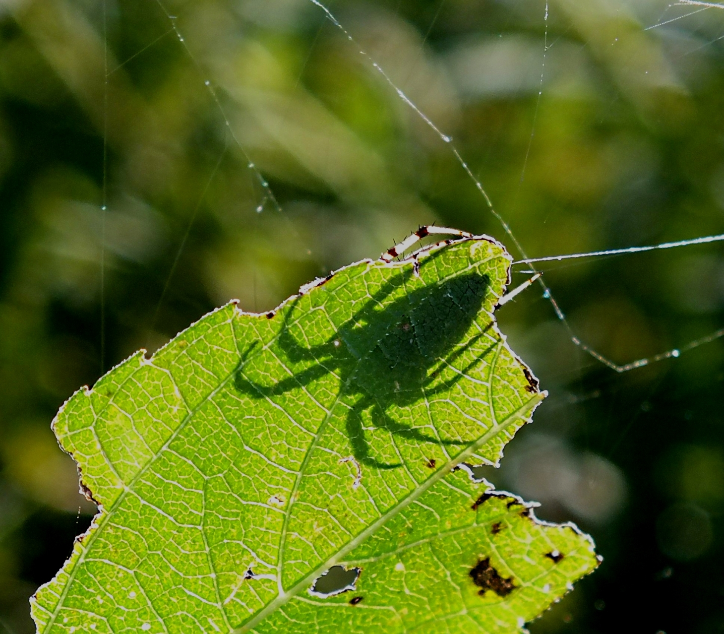 Spider Silhouette.  Photo by Thomas Peace 2014