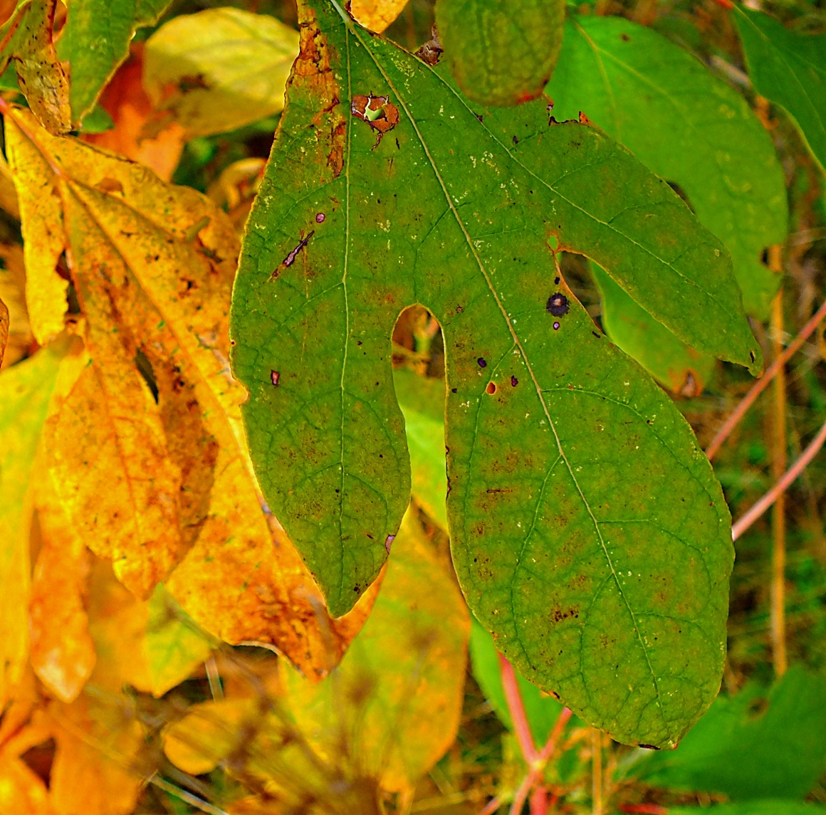 Holy Sassafras Leaves!  Photo by Thomas Peace 2014