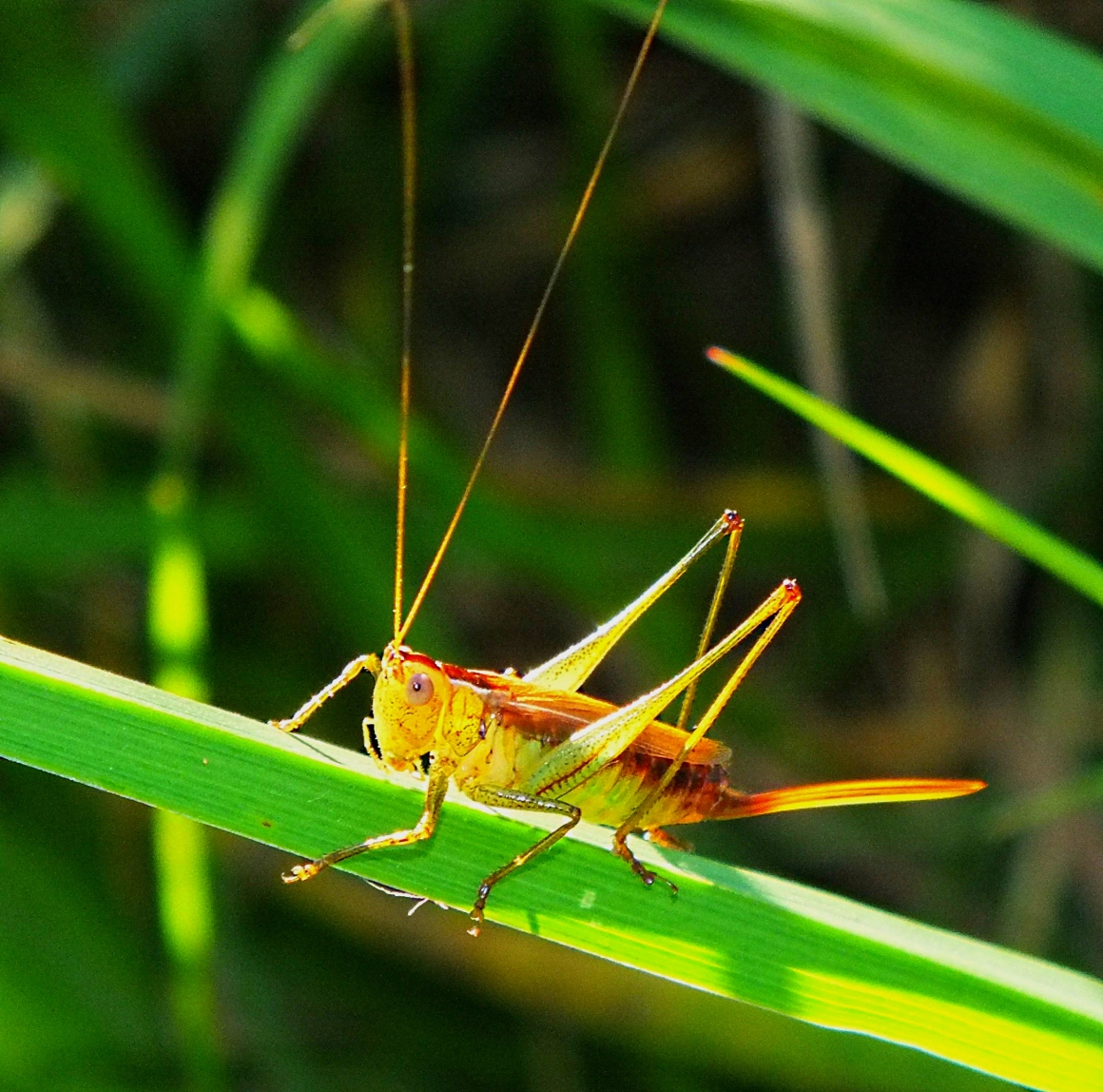 A Katydid with what may be a large Broadband Antenna.  Photo by Thomas Peace 2014