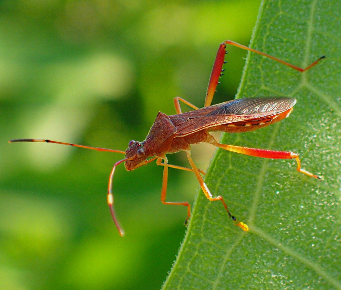 Leaf-footed Bug exploring.  Photo by Thomas Peace 2014