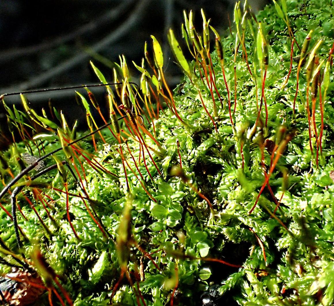 Sporophytes galore!  Photo by Thomas Peace 2014