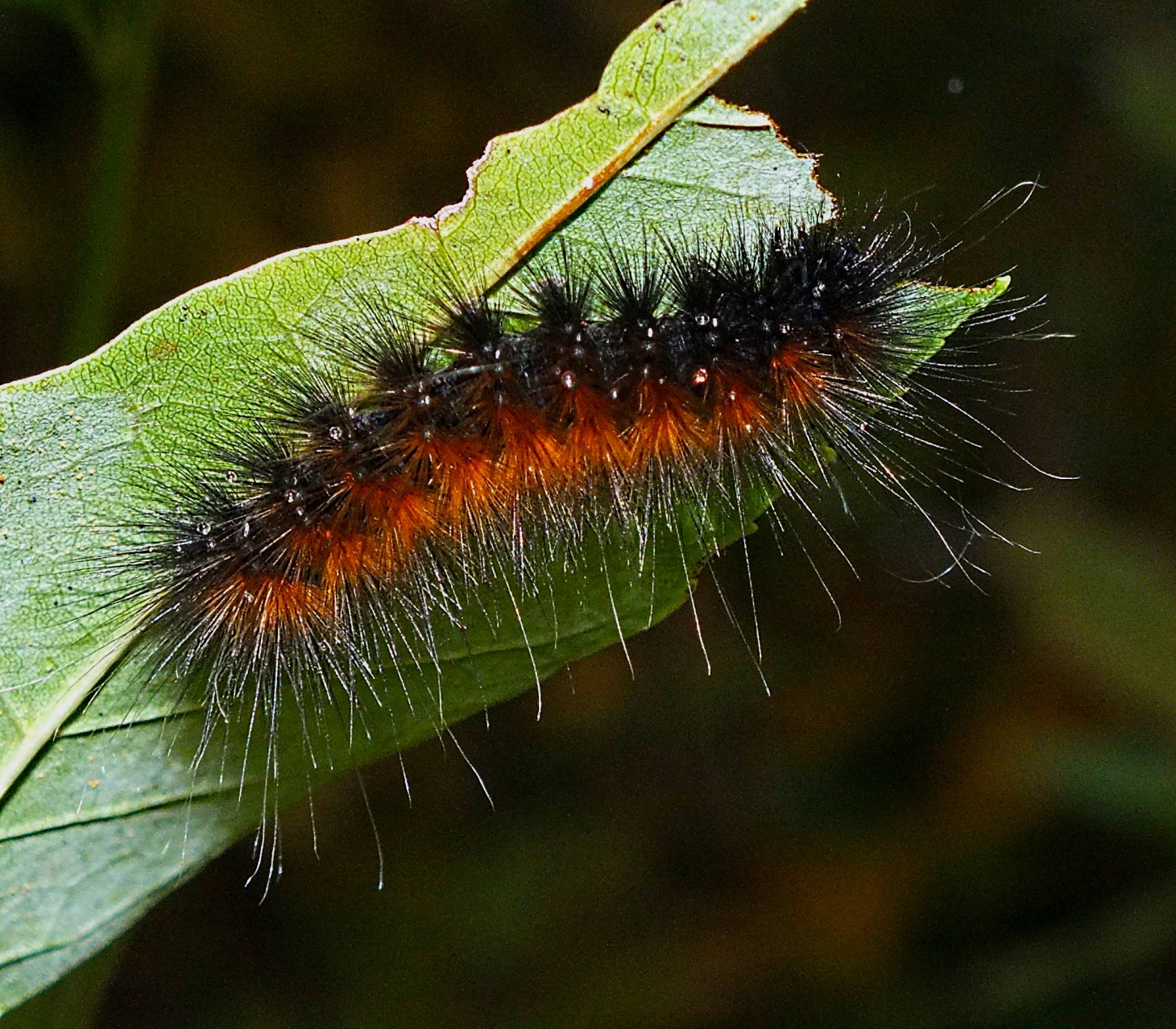 Salt-marsh Moth Caterpillar preparing for winter.  Photo by Thomas Peace 2014