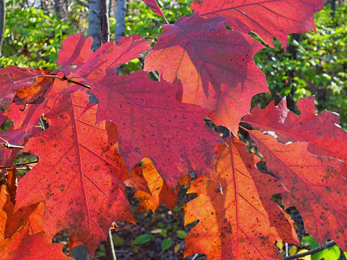 Fall Oak Leaves.  Photo by Thomas Peace 2014