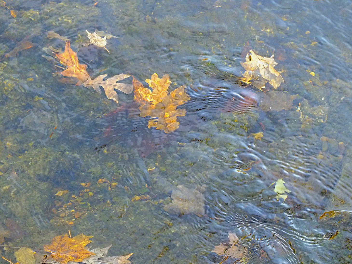 Fall Creek Leaves.  Photo by Thomas Peace 2014
