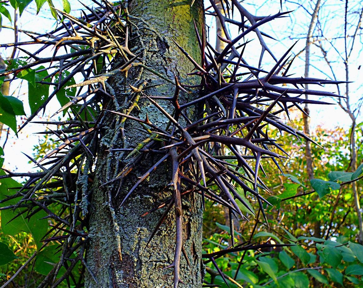 Honey Locust Tree protecting itself!  Photo by Thomas Peace 2014