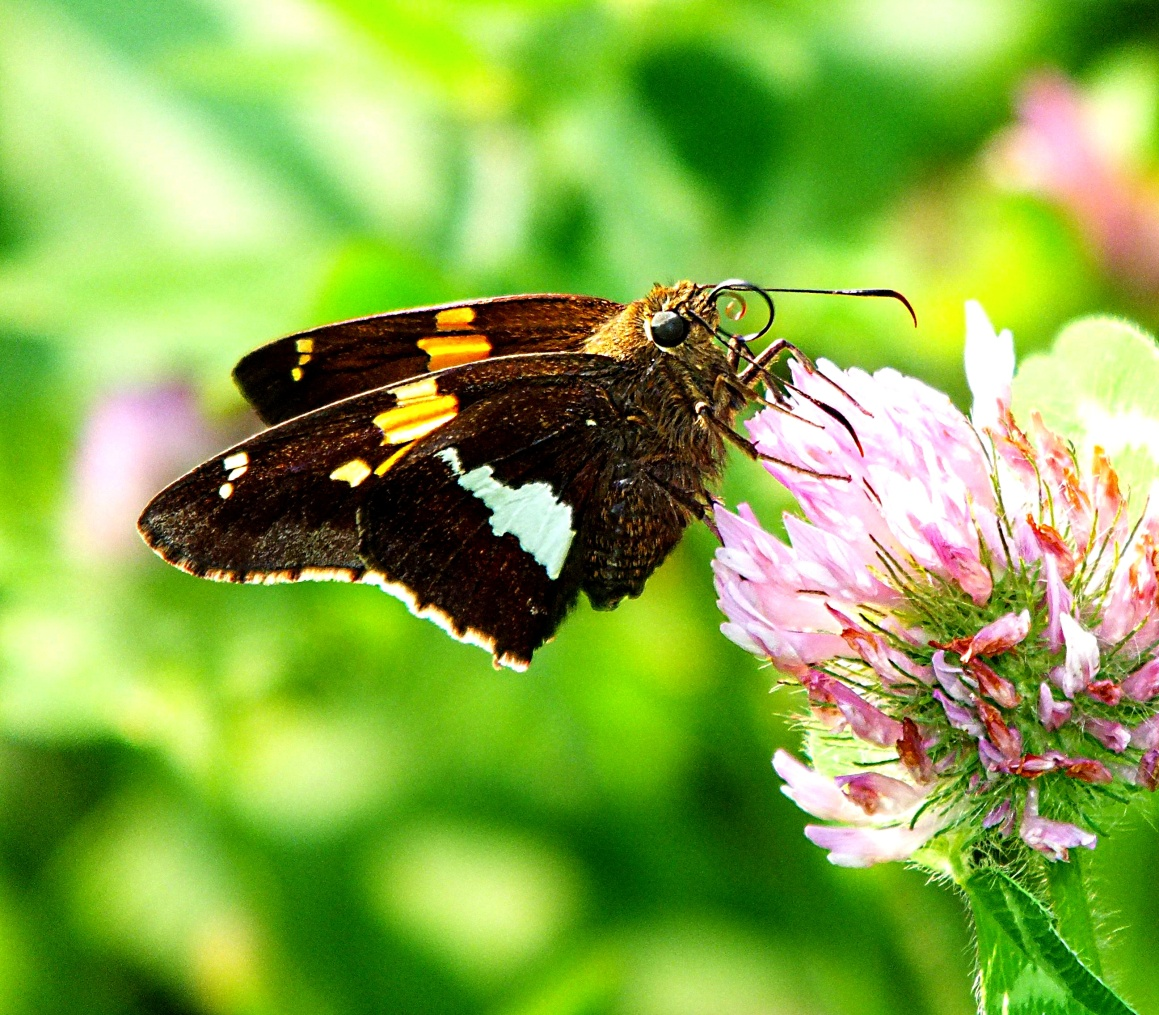Silver-Spotted Skipper with its curled proboscis. Photo by Thomas Peace 2014