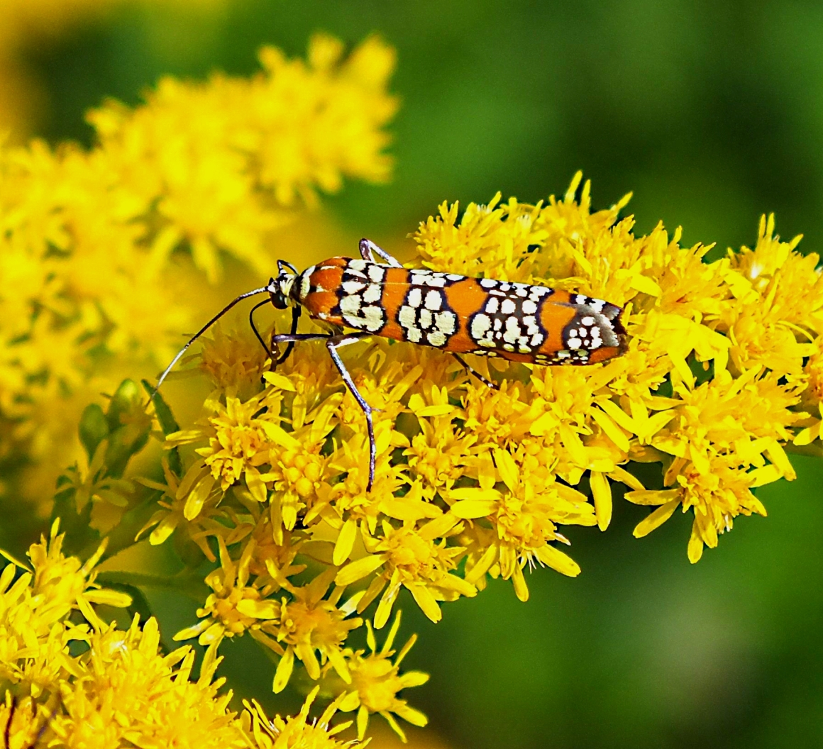 Ailanthus Webworm Moth, eats foliage of deciduous trees and shrubs.  Photo by Thomas Peace 2014