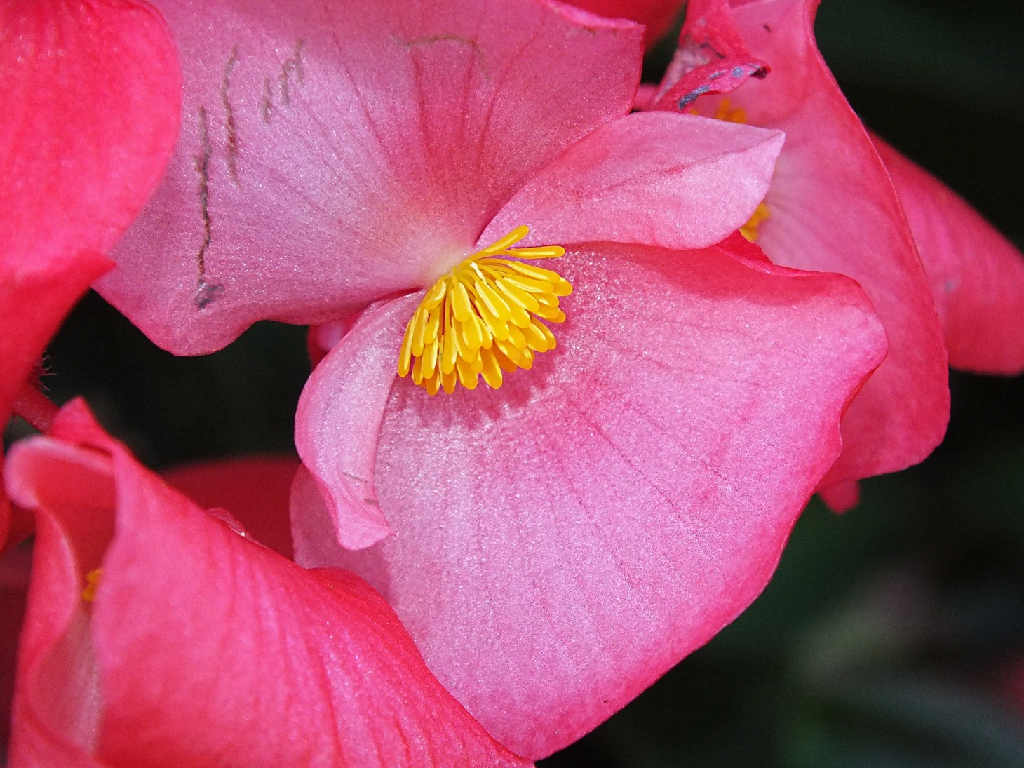 Begonia (Scarlanda green-red)  Photo by Thomas Peace 2014