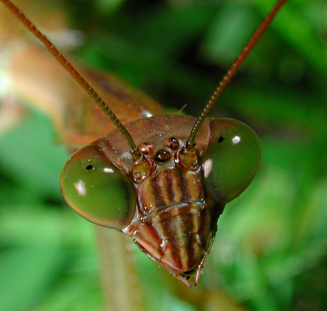 Mantis of the year!  Photo by Thomas Peace 2014