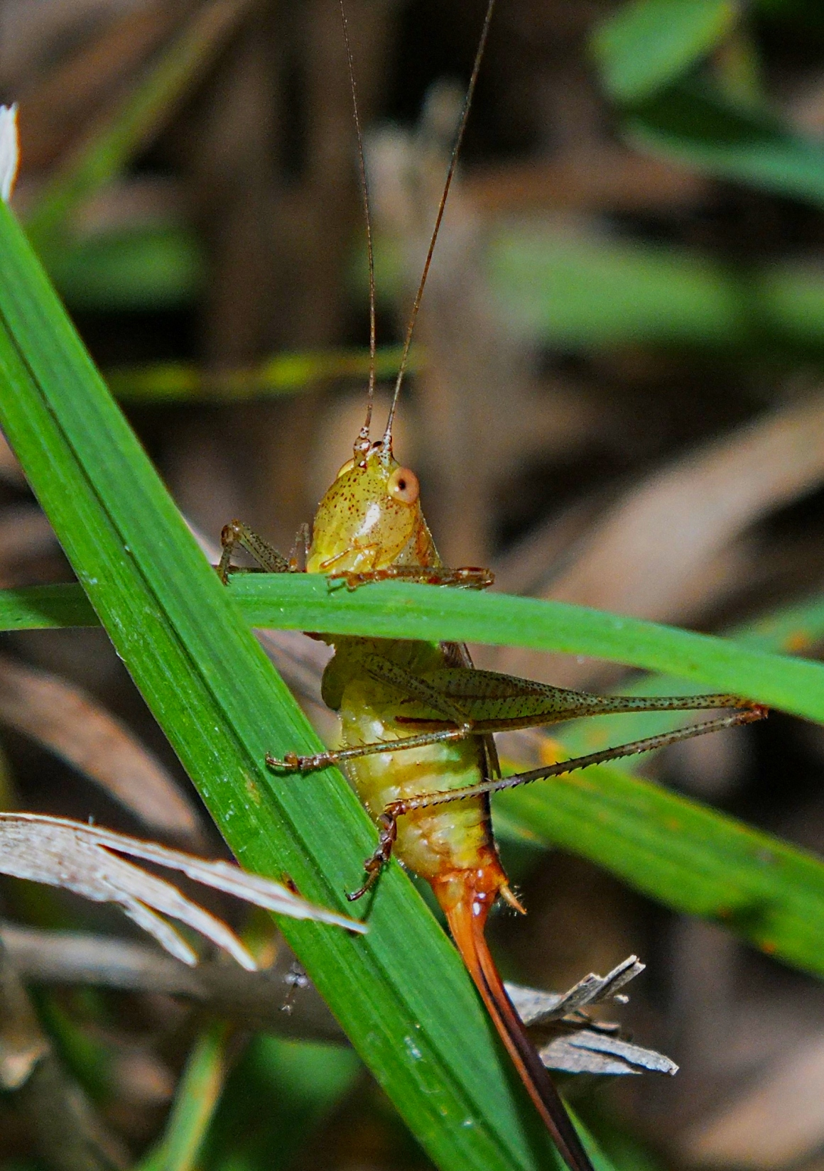 Happy Katydid!  Photo by Thomas Peace 2015